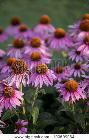 Echinacea - Summer Sky