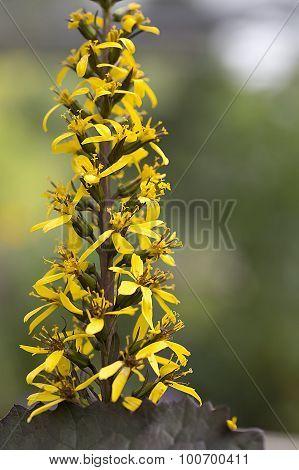 Ligularia - Popcorn Flower - Britt Marie