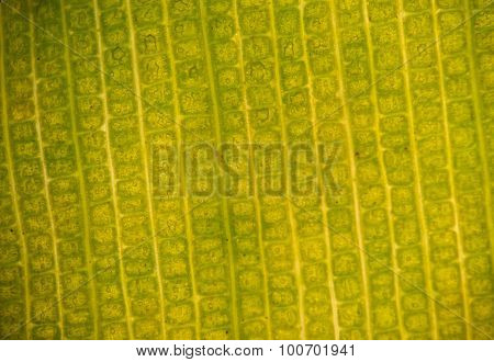 Stomata In The Plant Leaf