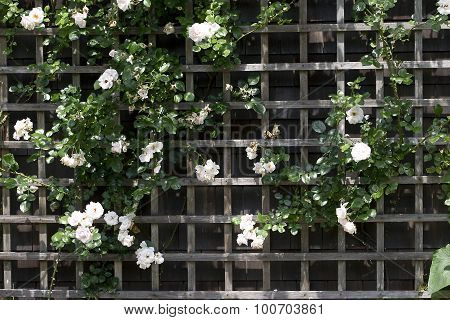 Trellis with White Climbing Roses
