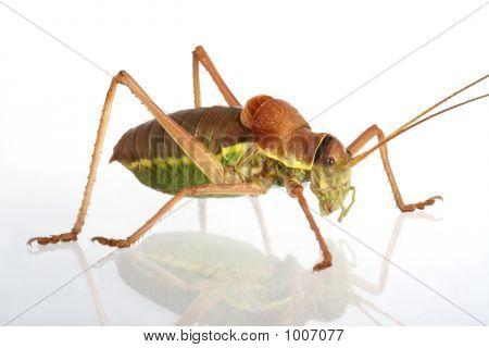 Apterous Grasshopper On A Mirror
