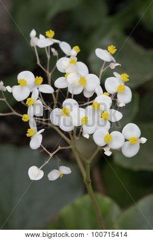 Begonia - Begonia venosa