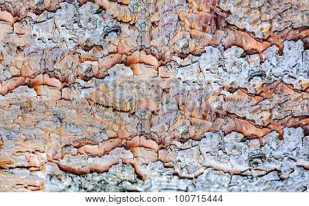Texture Bark of Pine Tree closeup. Natural background.