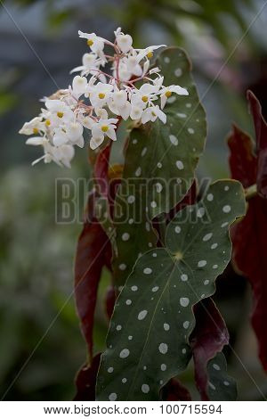 Spotted Begonia - Begonia maculata
