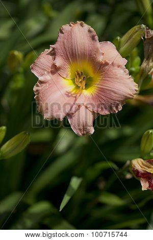 Daylily - Hemerocallis - Bridal Suite