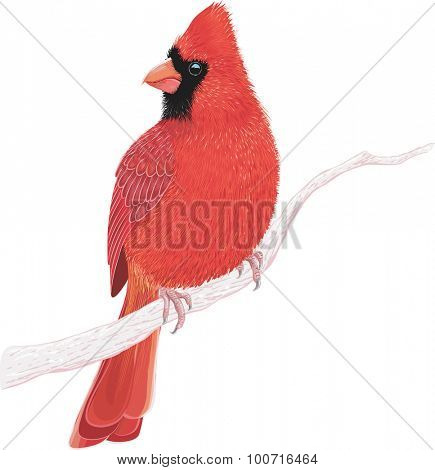 Northern cardinal sitting on a tree branch isolated on white background