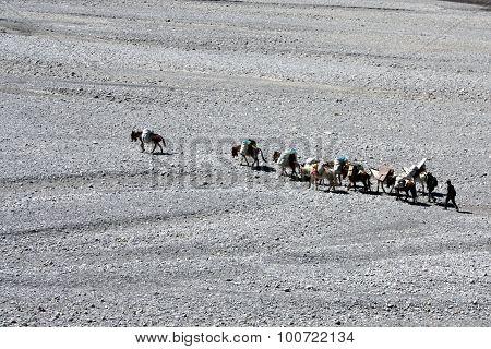 The Caravan Of Mules In Mountains Tibet