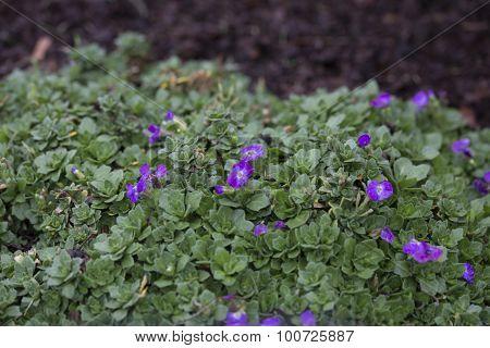 Ainroeta - Madly Blue Violet
