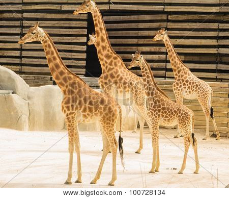 the giraffs of zoological park of Paris.