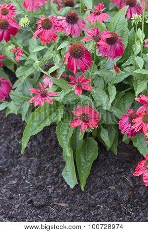 Echinacea - Sombrero - Salsa Red