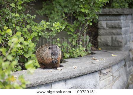 Groundhog on Rock Wall