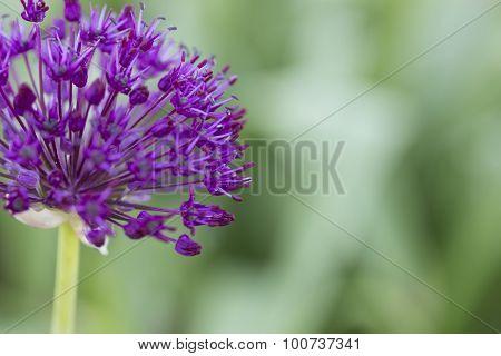 Allium - Globemaster