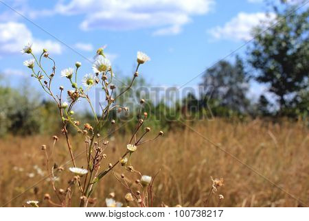 Daisies Field Against Sky