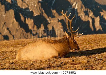 Bull Elk In Rut On The Colorado Tundra