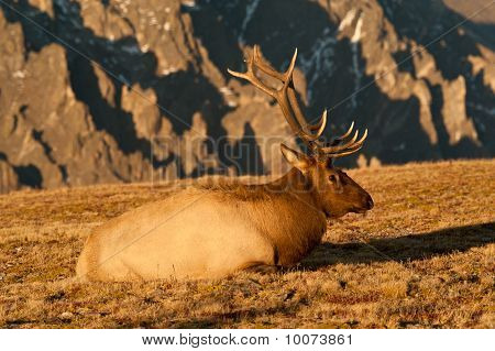 Bull Elk In Rut On The Colorado Tundra