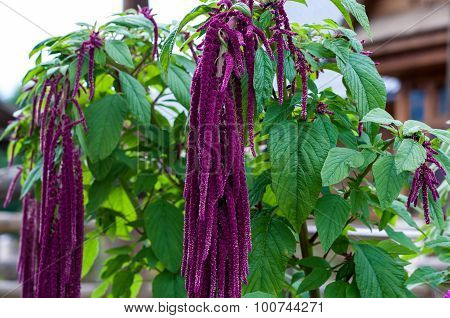 Flower Love-lies-bleeding