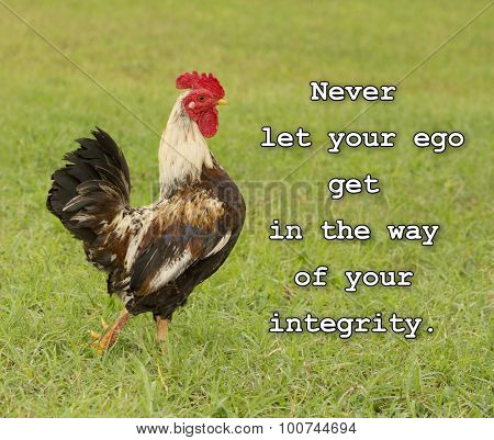 Never let your ego get in the way of your integrity - text with an image of a cocky rooster in green grass