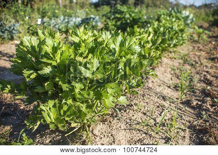 Organic vegetable garden with row of celery plants