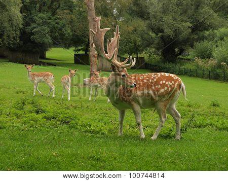 Deer At The Deer Camp