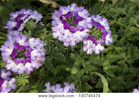Verbena - Twister Purple Imp.