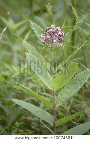 Pink Milkweed Flower