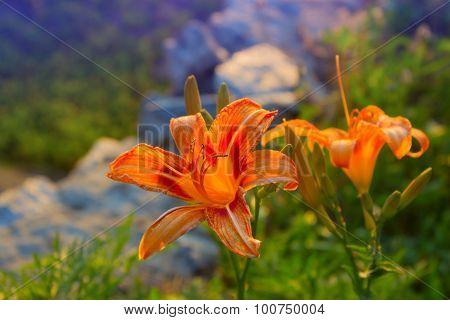 Lilium Flower In Garden, Close Up View