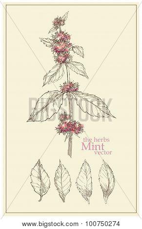 Sketch Of Mint. Vector Illustration.