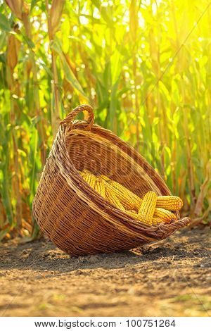 Harvested Maize In Wicker Basket