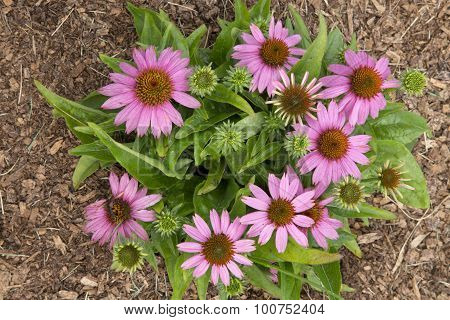Echinacea - Mistral
