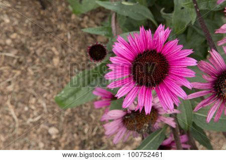 Echinacea - Fatal Attraction