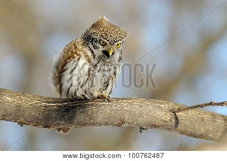 Crying Pygmy Owl