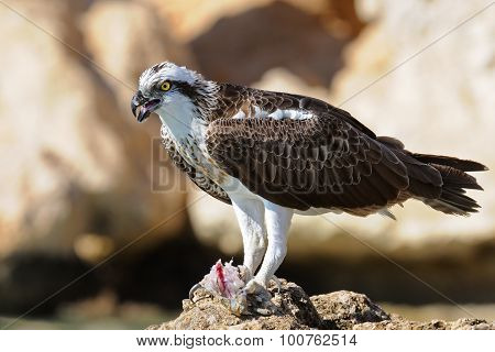 Osprey on the sea rock with prey