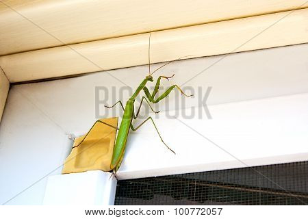 Praying Mantis Insect In Nature. Mantis Religiosa.