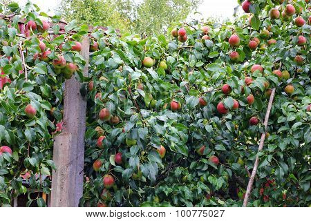 Many many pears on the tree