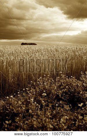 Barley / Wheat Field & Stormy Skies Sepia