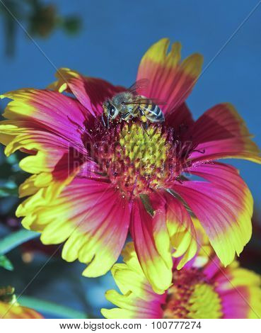 A Honey Bee Collects Pollen On A Blanket Flower