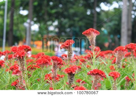 Cockscomb land in Tao Dan park, Vietnam