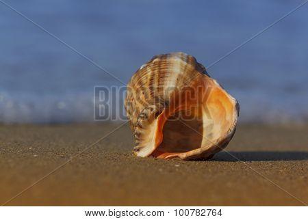 Seashell On Sea Coast
