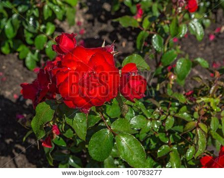 Flower Bed Of Red Roses