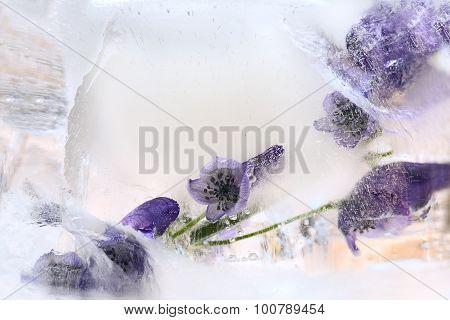 Background Of   Aconite  Flower Frozen In Ice