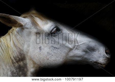 White horse head isolated on black background