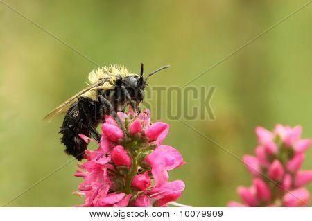 Molhado Bumble Bee