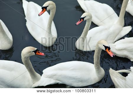 Swans in river