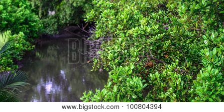Panoramic Of Mangrove Forest At Low Tide.