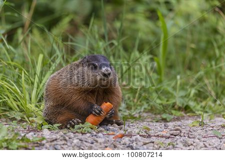 Beaver in the fall