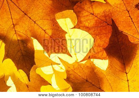 maple leaves - background