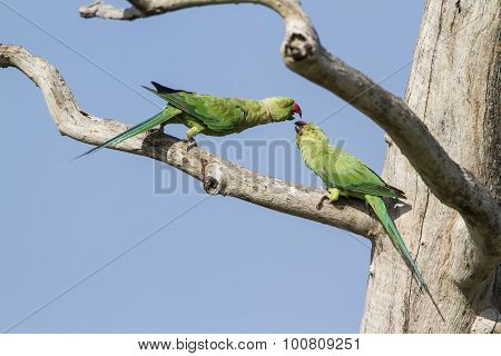Rose-ringed Parakeet In Arugam Bay Lagoon, Sri Lanka