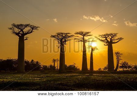 Evening In Baobab Avenue