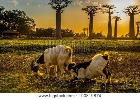 Goats In Evening Sun