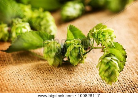 Hop plant close-up. Hop over burlap background. Twigs of Hop with cones and green leaves over sack linen texture. Beer production ingredient. Brewing